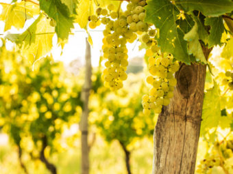 Vineyard - white grapes on grapevine plant - close up. Agriculture or gardening - country outdoor scenery, warm sunset light.