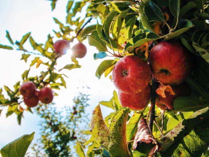 Jak zvládnout letní prořezávání ovocných stromů